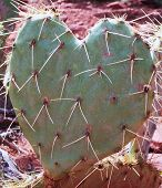 stock photo of prickly-pear  - A heart shaped prickly pear cactus in Arizona - JPG