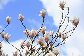 picture of magnolia  - Magnolia flowers on a background of blue sky - JPG