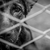 pic of forlorn  - A dog alone and abandoned behind a fence - JPG