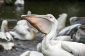 picture of zoo  - An adult pelican gobbling up a mouthful of fish Blackbrook Zoo England - JPG