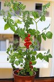 image of tomato plant  - single plant of tomatoes in the balcony of a house - JPG