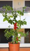 picture of tomato plant  - single plant of ripe tomatoes in the balcony of a house - JPG