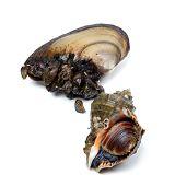 image of mollusca  - Veined rapa whelk and anodonta  - JPG
