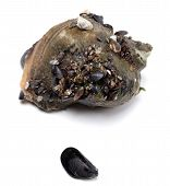 stock photo of whelk  - Veined rapa whelk and small mussel from Black Sea - JPG