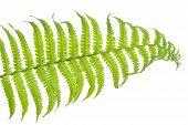 picture of fern  - Fern leaf closeup shot on white background - JPG
