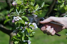 picture of prunes  - Pruning of Apple Tree when blossoms in Garden - JPG