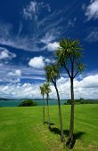 picture of australie  - New Zealand native cabbages trees  - JPG
