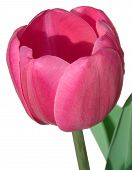 Pink Tulip Isolated On White ~ Includes Clipping Path