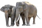 Asian Elephant pair