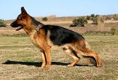 image of german shepherd dogs  - purebred german shepherd upright in grass - JPG
