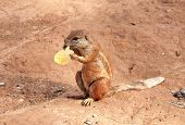 Marmot Holding And Eating Cheep