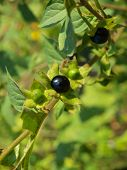 picture of belladonna  - the image shows a belladonna atropa branch - JPG