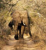 Wild African Bull Elephant