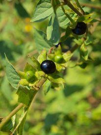 stock photo of belladonna  - the image shows a belladonna atropa branch - JPG