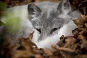 Artic Fox Peeking Out
