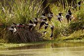 Black-necked Stilts (himantopus Mexicanus)