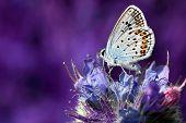 Butterfly (lycaenidae)