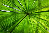 Beautiful Lush Green Fan Palm Frond