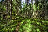Floresta selvagem na Finlândia.