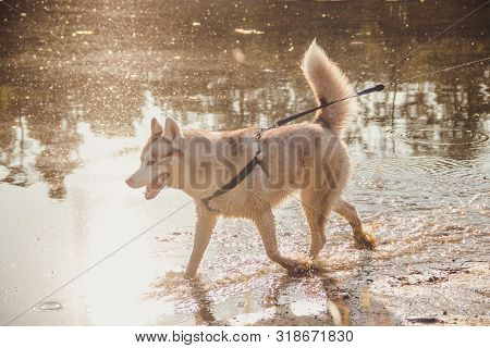 poster of Husky Portrait. Young Husky Dog On A Walk In The Water. Husky Breed. Light Fluffy Dog. Walk With The