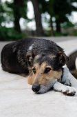 Old Stray Dog With Sad Eyes In A City Park. Homeless Animals Concept. Loneliness poster