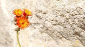 Orange Hawkweed species are declared as State Prohibited Weeds and are controlled under The Bio Se poster