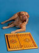 Dog playing backgammon isolated on blue background