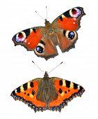 Cerrar vista de las mariposas aisladas en blanco