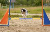 Energetic Dog Of Breed Of Sheltie Is Jumping Through The Single Barrier On The Agility Field. poster