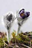 A Beautiful Pasque Flower