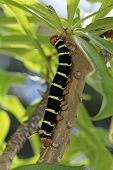 Colorful Tetrio Sphinx Caterpillar Eating