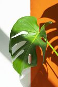 Monstera On A White And Orange Background. Monstera In A Modern Interior. Interior Design. Flowers I poster