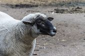 Domestic Sheep (ovis Aries).the Suffolk Is A British Breed Of Domestic Sheep. poster