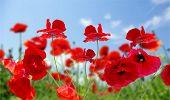 Papoila flor no céu