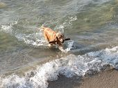 Golden Spaniel Running Through Water And Fetching Wooden Stick. Happy Young Dog Having Fun In The Wa poster