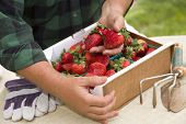 Farmer Gathering Fresh Red Strawberries in Baskets with Tools and Gloves Nearby.
