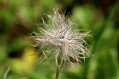 Hairy Silky White Seed Head Of Pulsatilla Vulgaris Or Pasque Flower Or Pasqueflower Or European Pasq poster