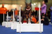 Cachorro marrom pula sobre barreira branca no dogshow - manifestação da formação