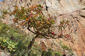 Boswellia tree �¢�?�? frankincense tree in blossom