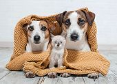 Dogs and cat under the plaid. Dog and kitten at home together poster