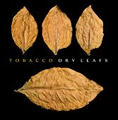 stock photo of tobacco leaf  - four dry tobacco  leafs on black background - JPG