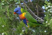 Blue Headed Rainbow Lorikeet
