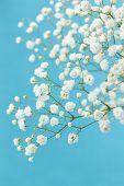 Gypsophila (flores do bebê-respiração), claro, arejadas massas de pequenas flores brancas.