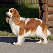 Young Cavalier King Charles Spaniel Blenheim A Coat