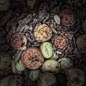 Rotting apples on a Compost Heap
