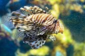 Lionfish (Pterois mombasae) underwater
