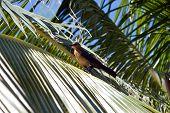 Adult American Robin (Turdus Migratorius) Sitting In A Tree