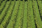 stock photo of dork  - Rows of vines in english vineyard at Dorking - JPG