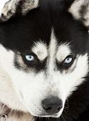 stock photo of siberian husky  - Portrait of a siberian husky dog - JPG
