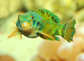 The Mandarinfish or Mandarin dragonet (Synchiropus splendidus). Little tropical fish living on the c